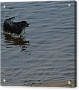 Cold Water Fetch Acrylic Print
