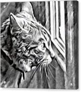 Cole Kitty Watchful Acrylic Print