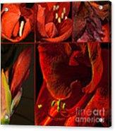Collage - Amaryllis - Red 01- Elena Yakubovich Acrylic Print