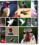 Collage Of Hummers 2 Acrylic Print