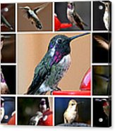 Collage Of Hummers Acrylic Print