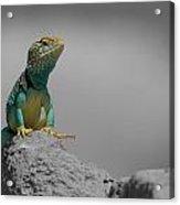 Collard Lizard Acrylic Print by Old Pueblo Photography
