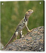 Collard Lizard Acrylic Print