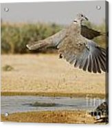 Collared Dove  Acrylic Print