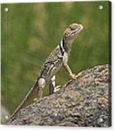 Collared Lizard Acrylic Print