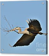 Collecting Nest Materials Acrylic Print