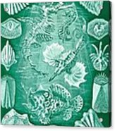 Collection Of Teleostei Acrylic Print by Ernst Haeckel