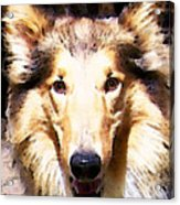Collie Dog Art - Sunshine Acrylic Print by Sharon Cummings