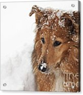 Collie In The Snow Acrylic Print