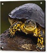 Colombian Wood Turtle Amazon Ecuador Acrylic Print
