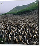 Colony Of Royal Penguin Eudyptes Acrylic Print