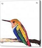 Color Birds Study  4 Acrylic Print
