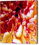Color In A Carnation Acrylic Print