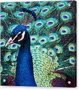 Color Me Peacock Acrylic Print