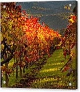 Color On The Vine Acrylic Print by Bill Gallagher