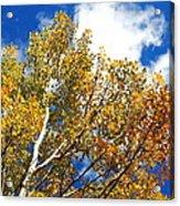 Colorado Aspens And Blue Skies Acrylic Print
