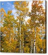 Colorado Autumn Aspens  Acrylic Print