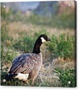 Colorado Canada Goose Acrylic Print