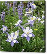 Colorado Columbines And Lupines Acrylic Print
