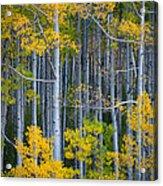 Colorado Fall Color Acrylic Print