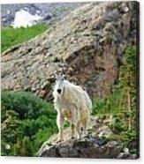 Colorado Mountain Goat Acrylic Print