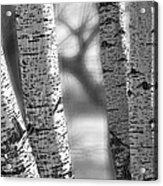 Colorado White Birch Trees In Black And White Acrylic Print