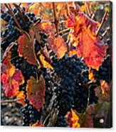 Colorful Autumn Grapes Acrylic Print