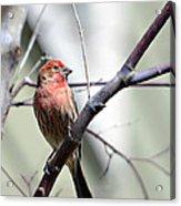 Colorful Bird In Winter Acrylic Print by Susan Leggett