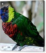 Colorful Bird  Acrylic Print