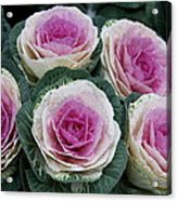 Colorful Cabbage  Acrylic Print