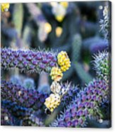 Colorful Cactus Red Purple Green Yellow Plant Fine Art Photography Print  Acrylic Print