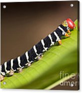 Colorful Caterpillar Acrylic Print