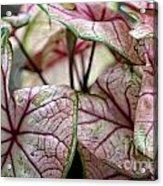 Colorful Coleous Acrylic Print