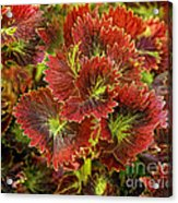 Colorful Coleus Acrylic Print