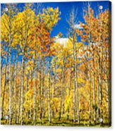 Colorful Colorado Autumn Aspen Trees Acrylic Print