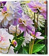 Colorful Dahlia Garden Acrylic Print
