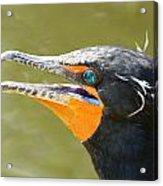 Colorful Double-crested Cormorant Acrylic Print