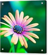 Colorful Flower Acrylic Print by Tammy Smith