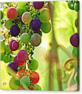Colorful Grapes Acrylic Print