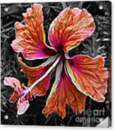 Colorful Hibiscus On Black And White 2 Acrylic Print by Kaye Menner