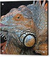 colorful Iguana Acrylic Print