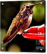 Colorful Juvenile Humingbird Acrylic Print