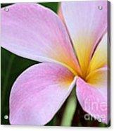 Colorful Pink Plumeria Flower Acrylic Print