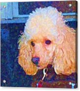Colorful Poodle Acrylic Print