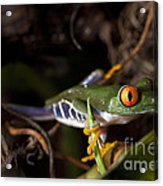 Colorful Red Eyed Tree Frog Acrylic Print