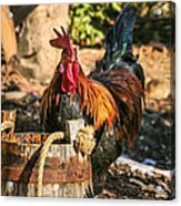 Colorful Rooster Acrylic Print