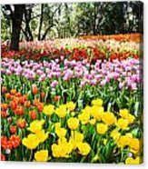 Colorful Tulip Field Acrylic Print