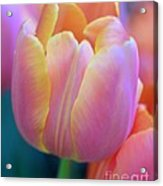 Colorful Tulip Acrylic Print by Kathleen Struckle