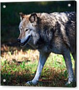 Colorful Wolf Acrylic Print