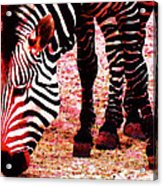 Colorful Zebra - Buy Black And White Stripes Art Acrylic Print